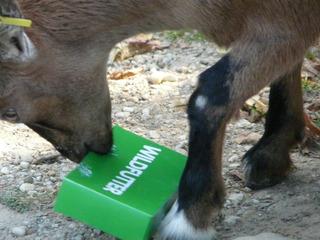 Ziege - Ziege, Futter, Zoo, Tierpark, fressen, Wiederkäuer, Wildfutter