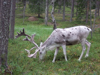 Rentier 1 - Natur, Tier, Finnland, Rentier, poro, Nutztier