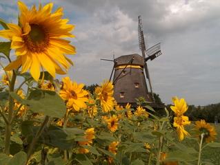 Mühle im Hessenpark - Mühle, historisch, Hessenpark, Kappenwindmühle, Freilichtmuseum, Getreide, Sonnenblume, Flügel