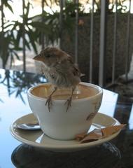 Frecher Spatz #4 - Sperling, Spatz, Singvögel, Vogel, zutraulich, neugierig, hungrig, Schreibanlass, witzig, Tasse, Kaffee