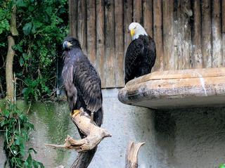 Weißkopfseeadler im Zoo - Weißkopfseeadler, Adler, Vogel, Greifvogel, groß, Wappentier, USA, Wappen, Zoo, schwarz, weiß