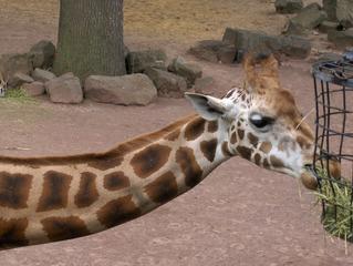 Giraffe im Zoo - Giraffe, Säugetier, Kopf, Hals, lang, Fell, gefleckt, fressen, Korb, Zoo, braun, weiß, Afrika
