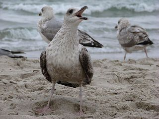 So ein Geschrei! - Möwe, Vogel, Silbermöwe, Schnabel, schreien, wütend