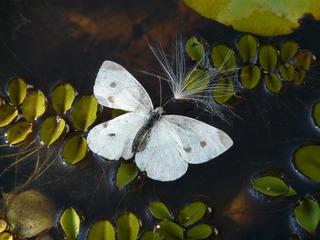 Kohlweißling - Kohlweißling, Schmetterling, Gartenteich, Teich
