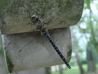 Libelle # 2 - Libelle, Mosaikjungfer, Insekt, Gliederfüßer, Facettenauge, Flügel, Körper, fliegen, schweben, zart