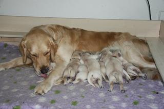 Golden Retriever Welpen #3 - Welpe, Hund, Haustier, säugen, Säugetier, Wurfkiste, Jagdhund, Hunderasse, Begleithund