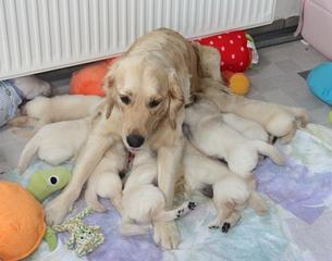 Golden Retriever Welpen  #8 - Hund, Säugetier, Welpen, acht, Jagdhund, Hunderasse, Begleithund