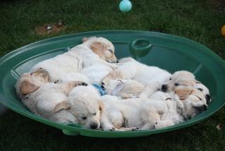 Golden Retriever Welpen #14 - Welpe, Hund, Haustier, Jagdhund, Hunderasse, Begleithund