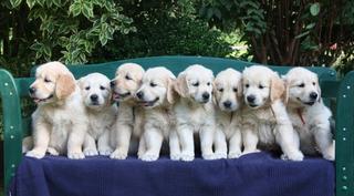 Golden Retriever Welpen #17 - Welpe, Hund, Haustier, Jagdhund, Hunderasse, Begleithund, acht