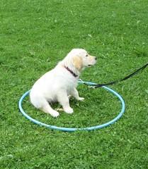 Golden Retriever Welpe #21 - Welpe, Hund, Haustier, Jagdhund, Hunderasse, Begleithund, Kreis