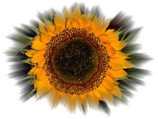 Sonnenblume - Sonnenblume, Blume, Blüte, Geburtstag, email, Effektbild, Grußkarte