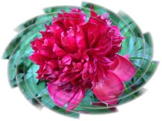 Pfingstrose - Pfingstrose, Sommer, Blume, Blüte, Geburtstag, email, Gruß, Effektbild, Grußkarte