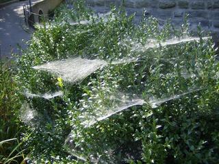 Spinnennetz - Spinnennetz, Beutefang, Fäden, Spinnenseide, Baldachinnetz
