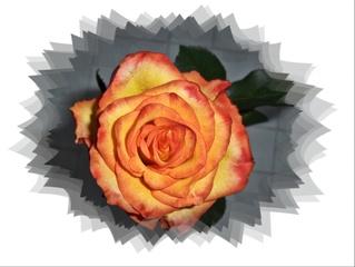 Rose - Rose, Sommer, Blume, Blüte, Geburtstag, email, Gruß, Effektbild, Grußkarte