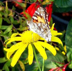 Distelfalter #2 - Distelfalter, Falter, Schmetterling, Tagfalter, Wanderfalter