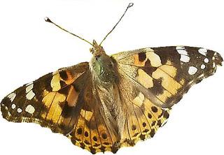 Distelfalter #3 - Distelfalter, Falter, Schmetterling, Tagfalter, Wanderfalter, Symmetrie, symmetrisch
