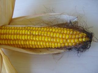 Maiskolben #2 - Maiskolben, Herbst, Ernte, Mais, Ackerbau, Ackerfrucht, Stärke, Nahrungsmittel, Grundnahrungsmittel, Futtermais, Futterpflanze