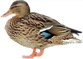 Ente - Ente, Erpel, Vogel