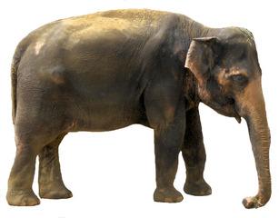 Elefant - Elefant, Säugetier, Rüssel, groß, grau, braun, Elefantenkuh, Indien, asiatisch, schwer, Dickhäuter