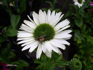 Echinacea-Blüte mit Insekt - Blüte, Echinacea, Sonnenhut, weiß, Heilpflanze, Insekt, Igelköpfe, Korbblütler
