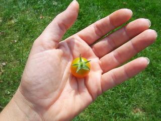 Kleine Tomate - Tomate, Cocktailtomate, Ernte, rot, orange, klein, winzig, reif