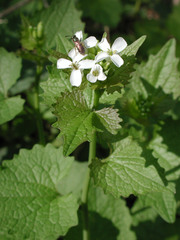 Knoblauchsrauke - Kräuter, Knoblauchsrauke, Knoblauchrauke, Lauchkraut, Kreuzblütler, Frühblüher