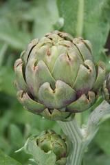 Artischocke - Artischocke, Kulturpflanze, distelartig, Korbblütler, Schuppenblätter, Blütengemüse, Heilpflanze
