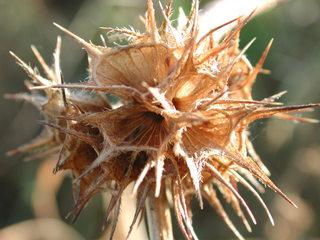 Samenkapseln - Samen, Samenkapseln, Herbst, Fruchtstand