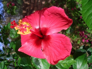 Hibiskus - Hibiskusblüte, Hibiskus, Eibisch, Blütenblätter, Staubblätter, Stempel, Khajuraho, Indien, Blüte, rot