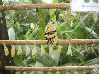 Schwalbenschwanz - Schmetterling, Schwalbenschwanz, Kokon, schlüpfen