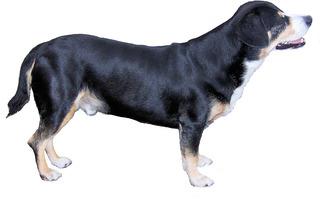 Entlebucher Sennenhund #2 - Entlebucher Sennenhund, Schweizer Sennenhund, Treibhund, Hütehund, Wachhund, Hund, Hunde, Kurzhaar, Haustier, schwarz, weiß, braun, stehen