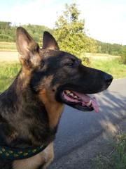 Schäferhund - Haustiere, Hund, Schäferhund, Hunderasse, Diensthund, Rettungshund
