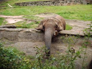Elefant - Elefant, Rüssel, gierig, Zoo, grau, Futter, fressen, Zoo, Tierpark, Stoßzahn, Elfenbein, Schreibanlass