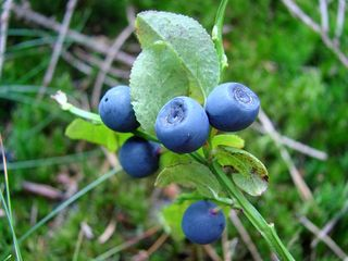 Heidelbeere - Heidelbeere, Blaubeere, Beere, Bedecktsamer, Heidekrautgewächs, zweikeimblättrig, Asternähnliche