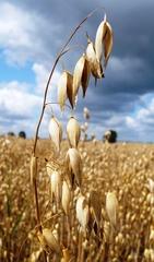 Hafer - Hafer, Getreide, Feld, Korn, Brot, Haferflocken, Haferrispe