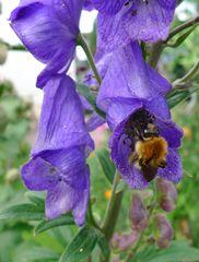 Eisenhut- Einzelblüte - Eisenhut, Wolfswurz, Hahnenfußgewächs, Hummelblume, Aconitum, Heilpflanze, Giftpflanze, giftig