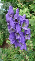 Eisenhut - Blütenstand - Eisenhut, Wolfswurz, Hahnenfußgewächs, Hummelblume, Aconitum, Heilpflanze, Giftpflanze, giftig