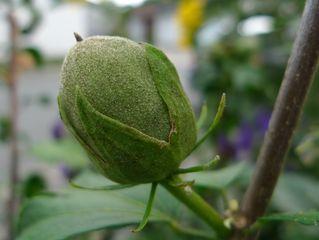 Eisenhut - Samenkapsel #1 - Eisenhut, Wolfswurz, Hahnenfußgewächs, Hummelblume, Aconitum, Heilpflanze, Giftpflanze, giftig, Fruchtstand, Samenkapsel