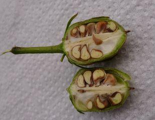 Eisenhut - Samenkapsel #2 - Eisenhut, Wolfswurz, Hahnenfußgewächs, Hummelblume, Aconitum, Heilpflanze, Giftpflanze, giftig, Samenkapsel, Samen, Samenkammern
