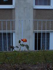 Rose im Herbst - Rose, Haus, Herbst, Blüte, rot
