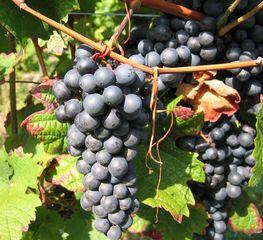 Weinrebe blau - Wein, Traube, blau, Wein, Weinlese, Weinreben, Rebe, Landwirtschaft, Weinbau, Trauben, Weintrauben, Herbst