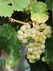 Weinrebe grün - Wein, Traube, grün, Wein, Weinlese, Weinrebe, Rebe, Landwirtschaft, Weinbau, Trauben, Weintrauben, Herbst