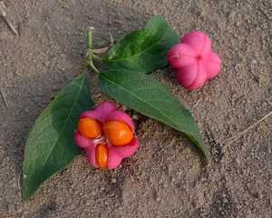 Pfaffenhütchen - Frucht, Samen, Gewöhnlicher Spindelstrauch, Euonymus europaeus, auch Europäisches Pfaffenhütchen, Pfaffenkäppchen, Pfaffenkapperl, Spillbaum, Spindelbaum, Giftpflanze, Gift