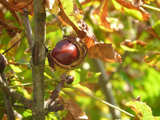 Kastanie - Kastanie, Baum, Kastanienbaum, Herbst