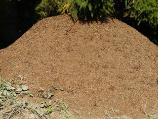 Ameisenhaufen - Ameise, Ameisenhaufen, Wald, Insektenstaat, Fleiß, fleißig