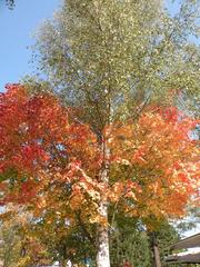 Welcher Baum ist das? - Laubfärbung, Baum, Bäume, Birke, Ahorn, Herbst, Laub