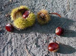 Maronen - Edelkastanie, Esskastanie, Maroni, Marone, Blatt, Blätter, Frucht, Fruchtschale, Kastanie, essen, Nahrung, Herbst, stachelig, Stacheln