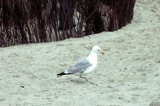 Möwe - Möwe, Strand, Vogel, Nordsee, Vögel, Silbermöwe
