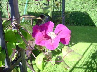 Clematis - Clematis, Blume, Blüte, lila, Kletterpflanze, Waldrebe, Hahnenfußgewächs, blühen, violett