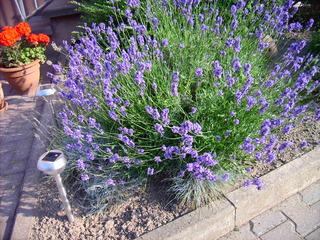 Lavendel - Lavendel, Blume, Duftblume, Lippenblütler, Heilpflanze, Duftpflanze, Duft
